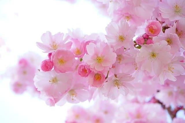 japanese-cherry-trees-ea37b50e2f_640