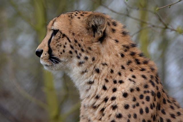 cheetah-e836b10b2a_640